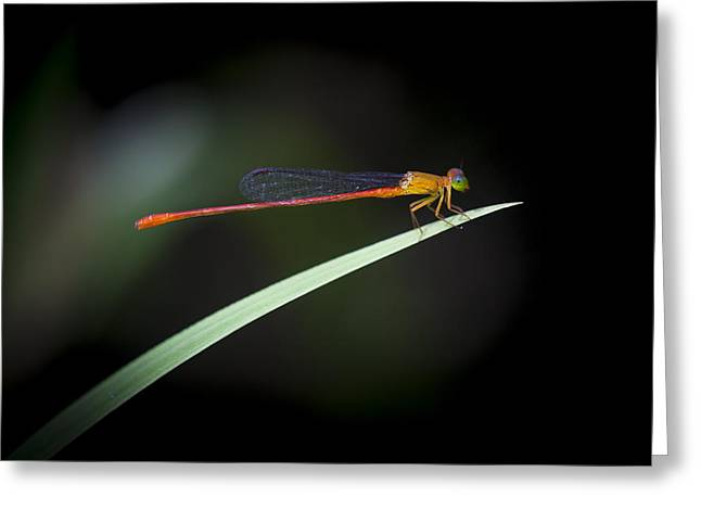 Damselfly Greeting Cards - The Damselfly Greeting Card by Zoe Ferrie