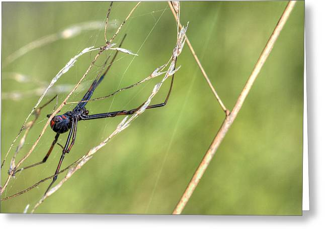 Black Widow Photographs Greeting Cards - The Dangerous Homemaker Greeting Card by JC Findley