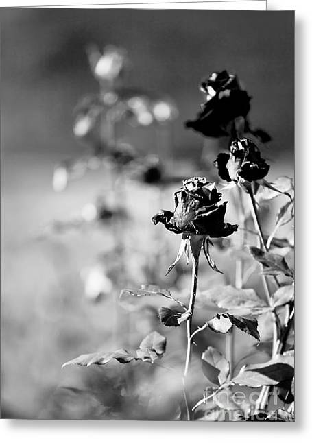 Black Greeting Cards - The death of the roses Greeting Card by Gabriela Insuratelu