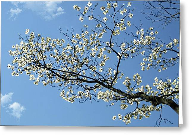 Paint Photograph Greeting Cards - The dogwood melting in the blue sky Greeting Card by Jason Zhang