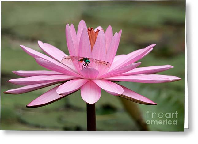 Aquatic Greeting Cards - The Dragonfly and the Pink Water Lily Greeting Card by Sabrina L Ryan
