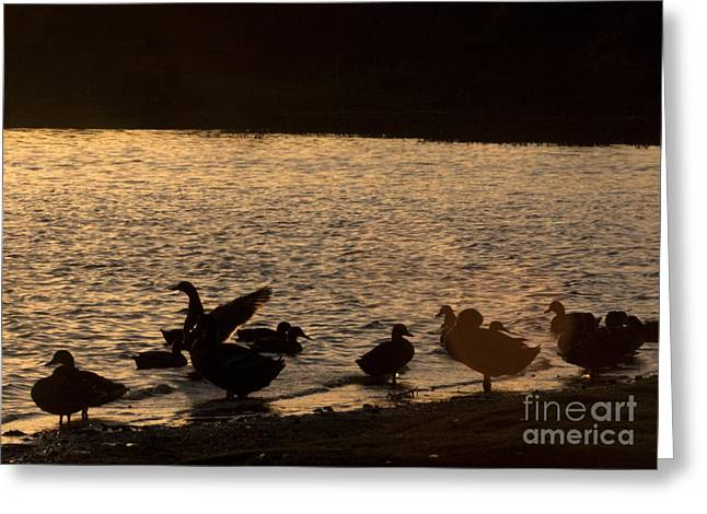 Ducklings Greeting Cards - The Ducks  Greeting Card by Angel  Tarantella