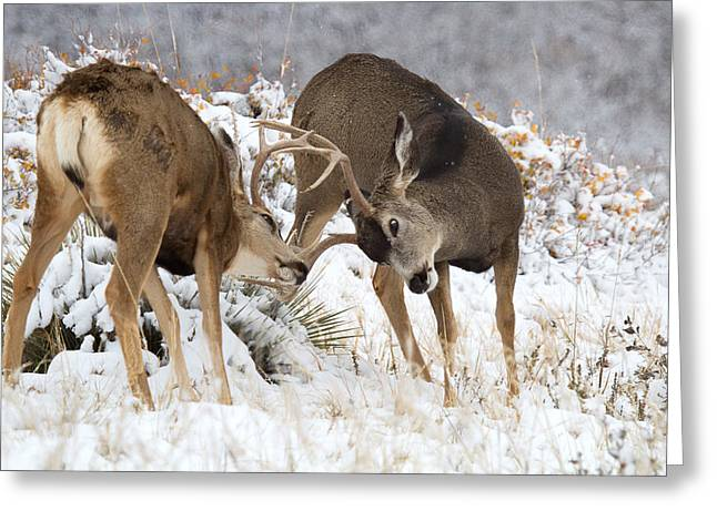 Mule Deer Buck Photograph Greeting Cards - The Duelists Greeting Card by Jim Garrison