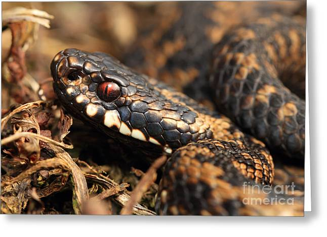 Clare Scott Greeting Cards - The eye of the Adder Greeting Card by Clare Scott
