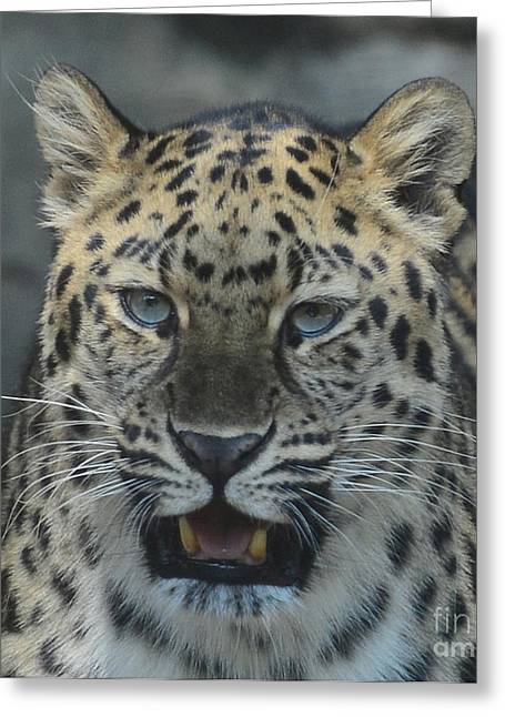 The Eyes Of A Jaguar Greeting Card by Paul Ward