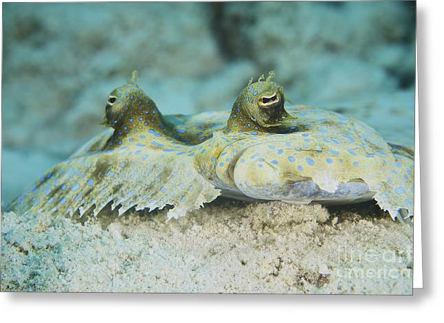 Flounder Greeting Cards - The Face Of A Peacock Flounder Greeting Card by Terry Moore