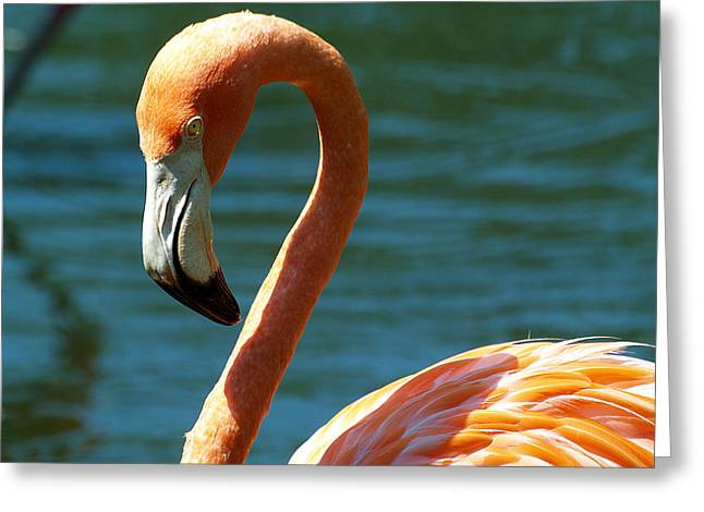 Jacksonville Greeting Cards - The Flamingo Greeting Card by William Jones