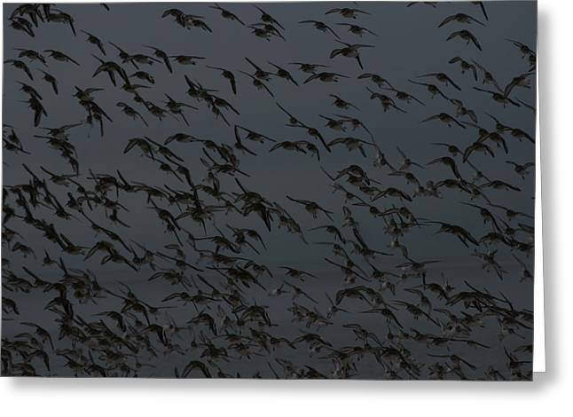 Sand Piper Greeting Cards - The Flight of The Pipers Greeting Card by Christopher Kirby