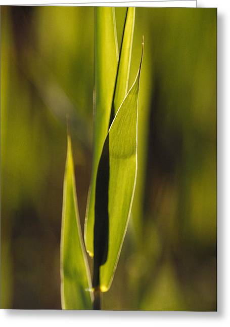 Kingston Greeting Cards - The Fresh Growth Of Lime Green Reed Greeting Card by Jason Edwards