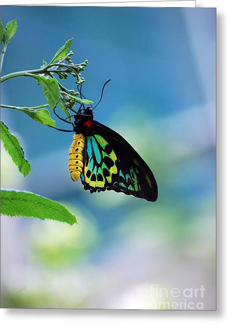 Goliath Greeting Cards - The Goliath Birdwing Greeting Card by Robert Meanor