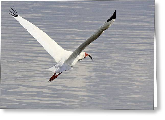 Becky Greeting Cards - The graceful white ibis Greeting Card by Becky Lodes
