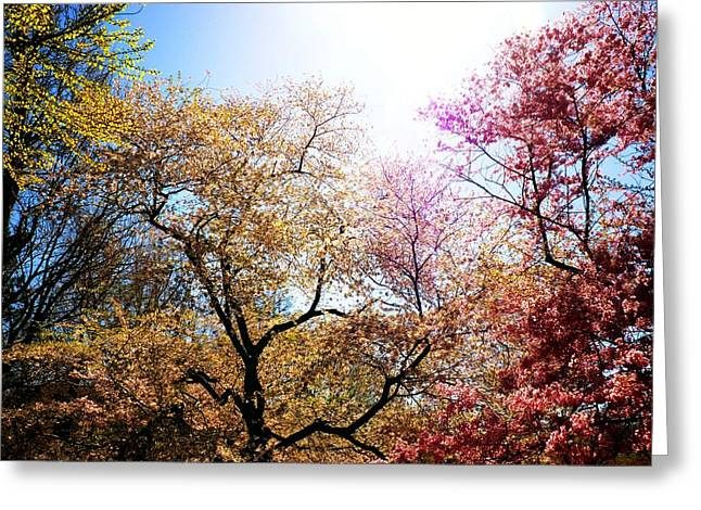 The Grandest Of Dreams - Cherry Blossoms - Brooklyn Botanic Garden Greeting Card by Vivienne Gucwa