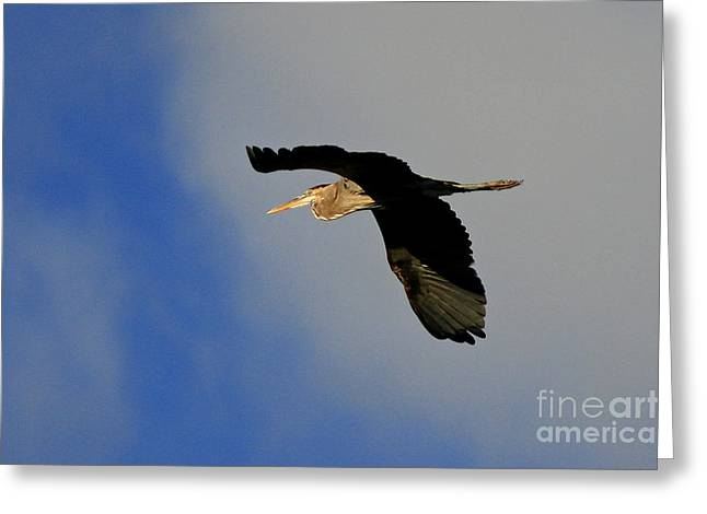 Shelley Myke Greeting Cards - The Great Blue Heron in Flight Greeting Card by Inspired Nature Photography By Shelley Myke