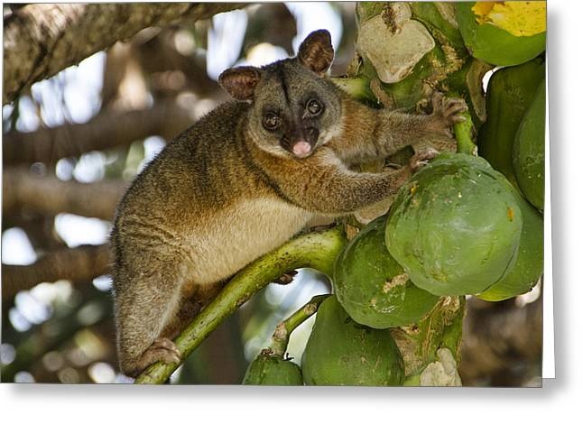 Possum Greeting Cards - The Green Ones Are Tastier  Greeting Card by Douglas Barnard
