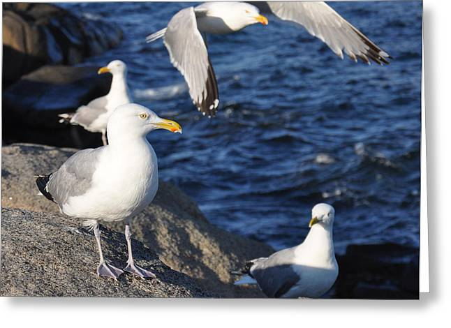 Maine Shore Greeting Cards - The Gulls Greeting Card by Amy Warnke