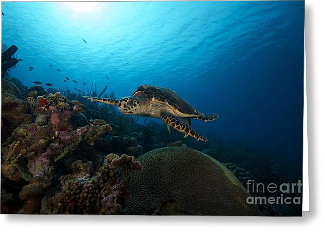 Hawksbill Sea Turtle Greeting Cards - The Hawksbill Sea Turtle, Bonaire Greeting Card by Terry Moore