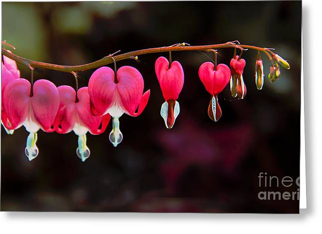 Dicentra Spectabilis Greeting Cards - The Hearts Greeting Card by Robert Bales