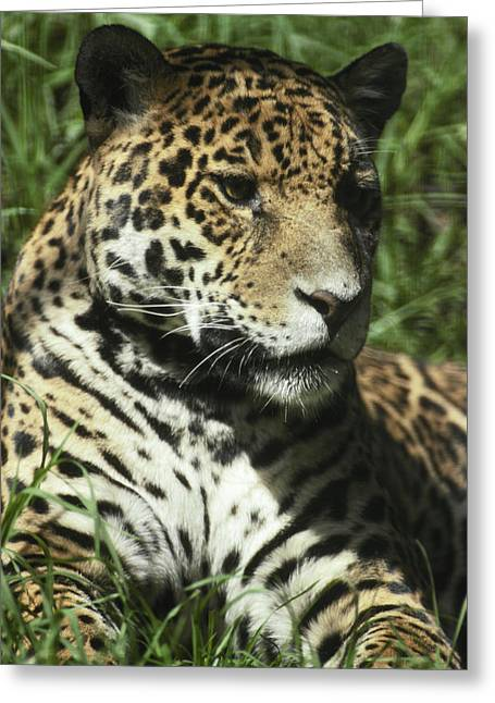 Rosette Greeting Cards - The Immense Head Of A Jaguar Greeting Card by Jason Edwards