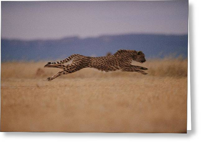 Cheetah Running Greeting Cards - The Incredible Speed Of An African Greeting Card by Chris Johns