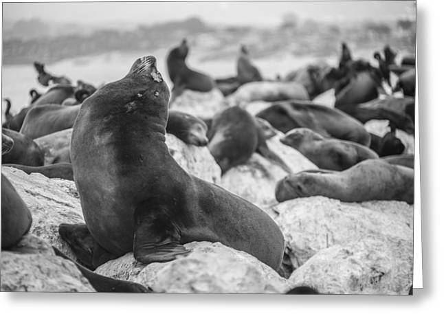 Sea Lions Greeting Cards - The King Greeting Card by Ralf Kaiser