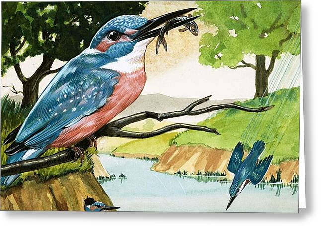Peeping Greeting Cards - The Kingfisher Greeting Card by D A Forrest