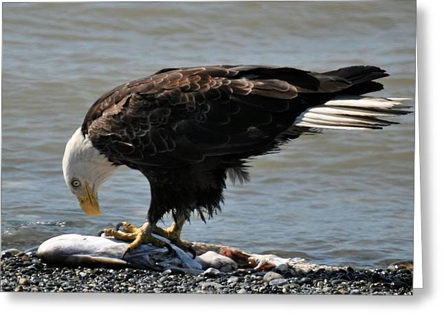 Eagle Images Greeting Cards - The Largest Bird of Prey  Greeting Card by Debra  Miller