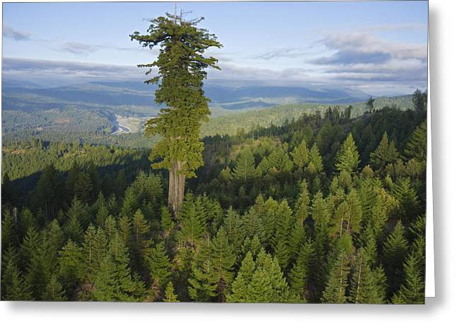 Old Growth Greeting Cards - The Largest Patch Of Old Growth Redwood Greeting Card by Michael Nichols