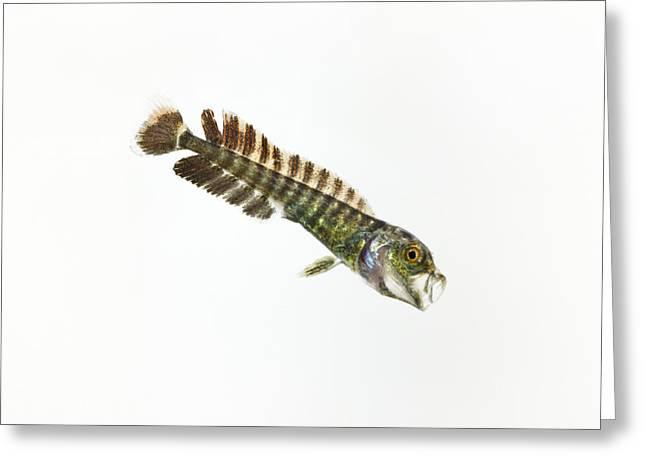 Hawaiian Fish Greeting Cards - The Larva Of A Dolphinfish, Or Mahi Greeting Card by David  Liittschwager