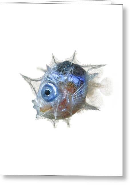 Hawaiian Fish Greeting Cards - The Larva Of The Slender Mola Greeting Card by David  Liittschwager