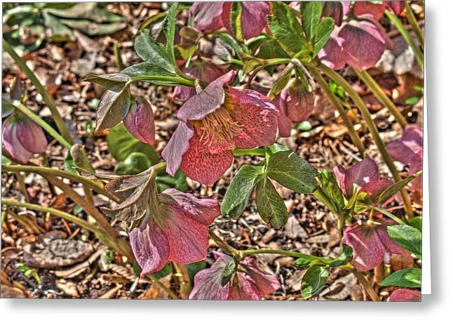 Ithaca Greeting Cards - The Lenten Rose Greeting Card by Joshua House