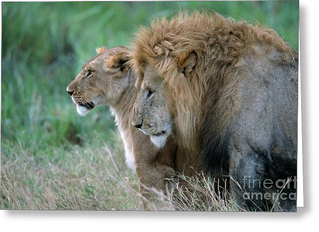 Lioness Greeting Cards - The Lion And His Lioness Greeting Card by Sandra Bronstein