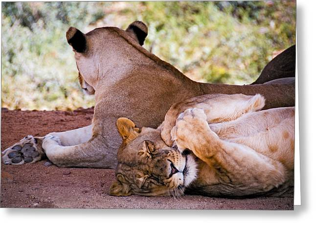 Sleeping Animals Greeting Cards - The lion dreams Greeting Card by Anthony Citro
