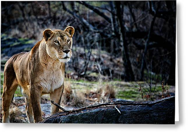 Golden Brown Greeting Cards - The Lioness Greeting Card by Karol  Livote