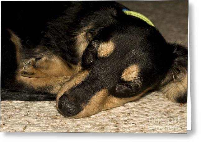 Dachshund Puppy Digital Art Greeting Cards - The Little Dachshund Greeting Card by Tasha Tuckwell