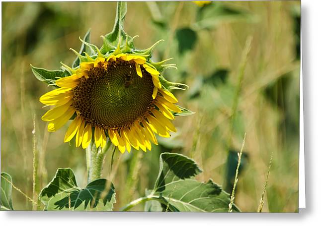 Sunflower Patch Greeting Cards - The Loner Greeting Card by Lisa Moore