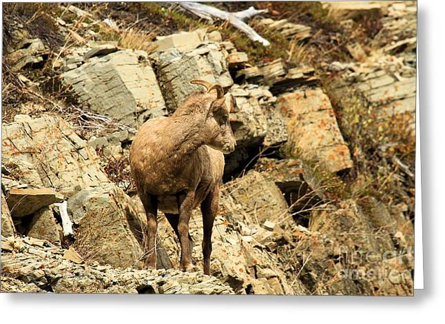 Sheep On Rocks Greeting Cards - The Lookout Greeting Card by Adam Jewell