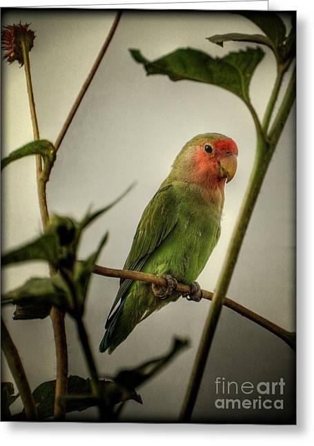 Peach Faced Lovebird Bird Greeting Cards - The Lovebird  Greeting Card by Saija  Lehtonen