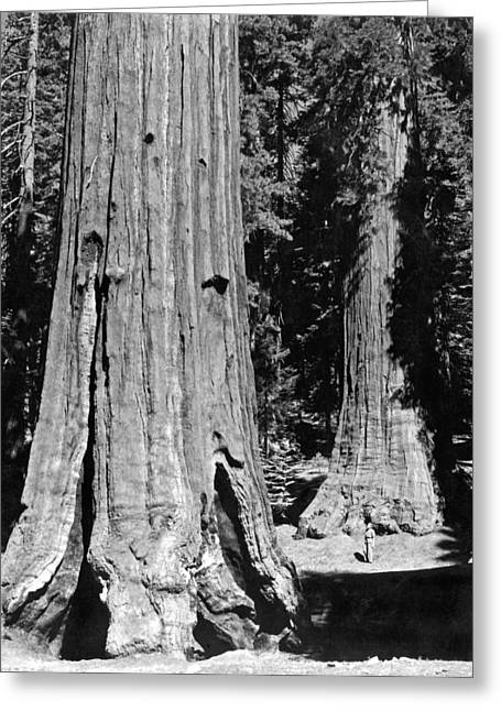 The Mariposa Grove In Yosemite Greeting Card by Underwood Archives