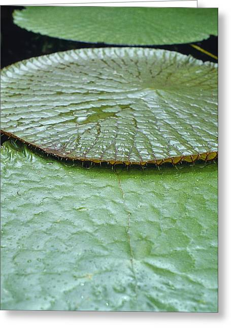 Victoria Cruziana Greeting Cards - The Massive Santa Cruz Waterlily Leaves Greeting Card by Jason Edwards