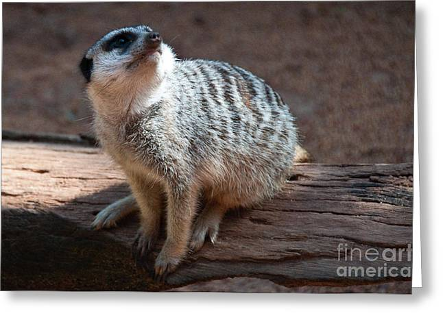 Perth Zoo Greeting Cards - The Meercat  Greeting Card by Rob Hawkins