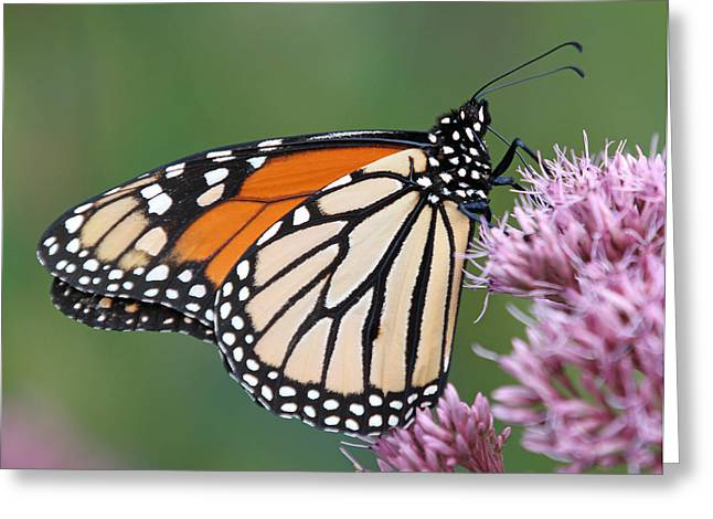 Flower Greeting Cards - The Monarch Sipping Nectar Greeting Card by Juergen Roth