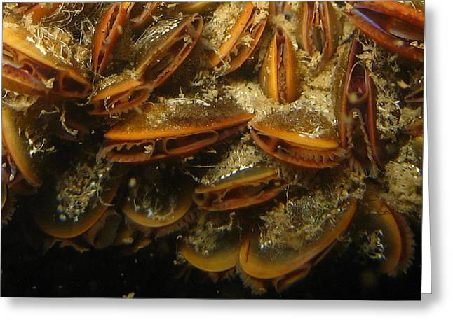 Sea Shell Art Greeting Cards - The Mussel Group Greeting Card by Paul Ward