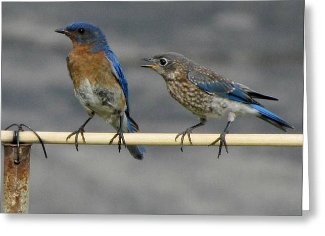 The Nagging Bluebird Greeting Card by Betty Pieper
