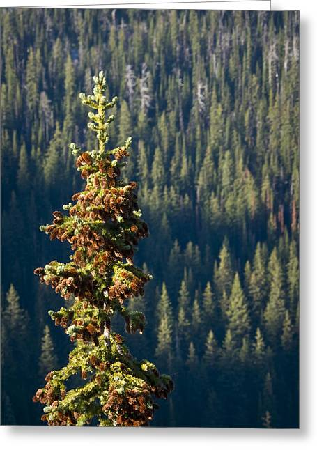 Fir Trees Greeting Cards - The Next Generation Greeting Card by Albert Seger