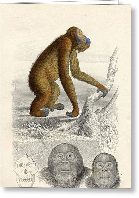 Orang-utans Greeting Cards - The Orang-utan Greeting Card by Ken Welsh