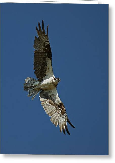 Large Birds Greeting Cards - The Osprey Greeting Card by Ernie Echols