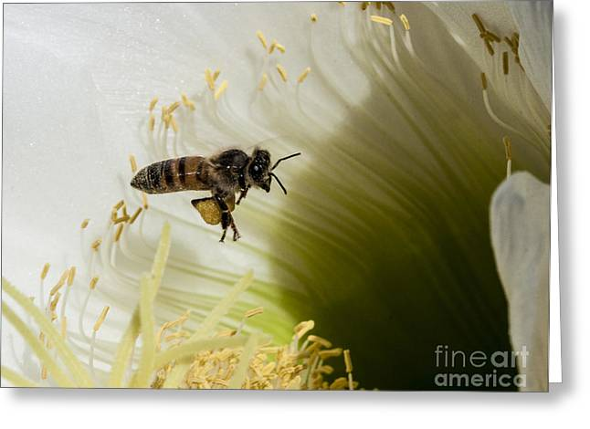 Gold Jacket Greeting Cards - The Overloaded Bee Greeting Card by Darcy Michaelchuk