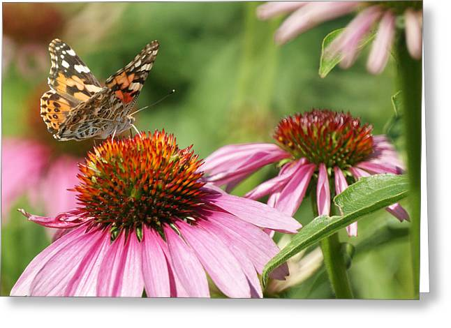 Painted Lady Butterflies Greeting Cards - The Painted Ladies Greeting Card by Ernie Echols