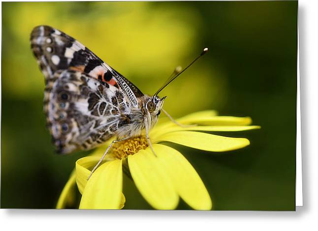 Painted Lady Butterflies Greeting Cards - The Painted Lady and the Daisy  Greeting Card by Saija  Lehtonen
