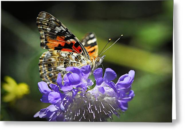 Painted Lady Butterflies Greeting Cards - The Painted Lady Butterfly  Greeting Card by Saija  Lehtonen